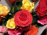 Rose1w500