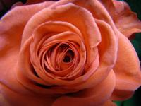 Rose2w500