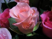 Rose3w500