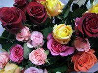 Rose6w500